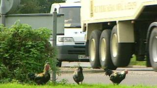 """Chickens on """"chicken roundabout"""" at Ditchingham, Norfolk"""