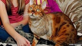 Bengal cat Gus