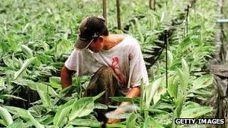 A worker checks on young banana saplings in a nursery of a new banana plantation in Honduras