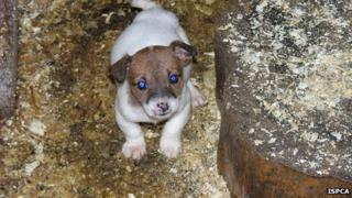 One of the puppies found at a puppy farm by the ISPCA