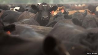 Cattle in a feedlot in Colorado
