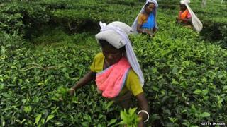 Indian tea garden workers pluck leaves