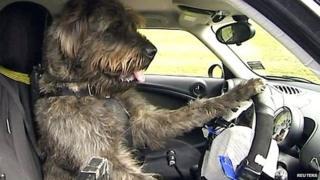 A dog driving a car