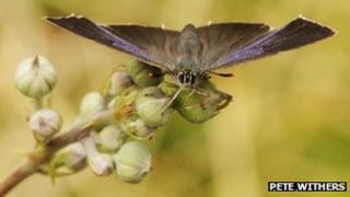 Purple hairstreak butterfly by Pete Withers