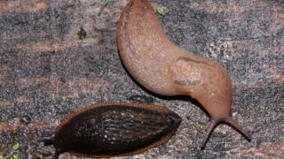 Slugs on allotment