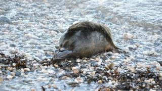 Seal returned to the wild - MSPCA