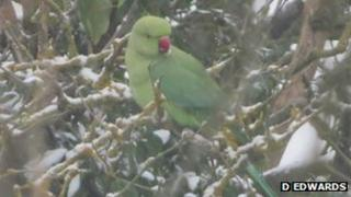 Parakeet in snow in Esher