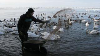 Swans feeding