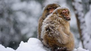Macaques at Trentham Monkey Forest