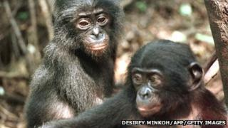 Bonobo chimps in Africa