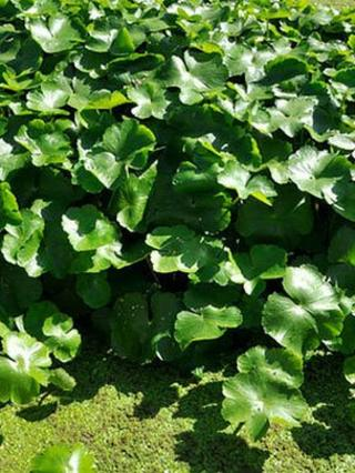 Floating pennywort (image courtesy of the Canal and River Trust)