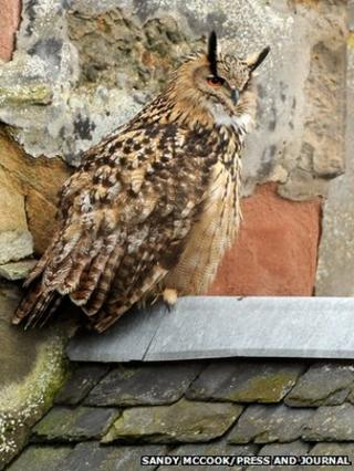 Eagle owl in Inverness