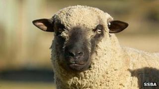 A Sidedowns Bently from the Shropshire Sheep Breeders' Association