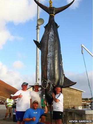 Giant Atlantic blue marlin caught off Ascension Island