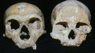 Neanderthal and modern human skulls