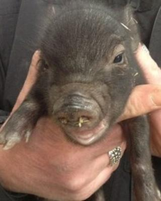 Micro pig at Newham Grange Farm