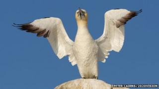 Gannet displaying on the Firth of Forth in Scotland