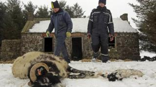 Farmers and dead sheep