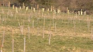 Saplings at Keresley Jubilee Wood