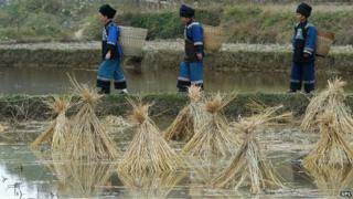 Rice farming in China (file photo)