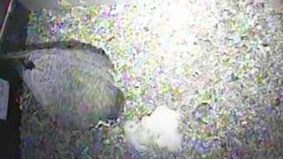 Peregrine falcon and three chicks
