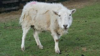 Sheep at Brinsley Animal Rescue