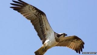 An osprey flying above Rutland Water.