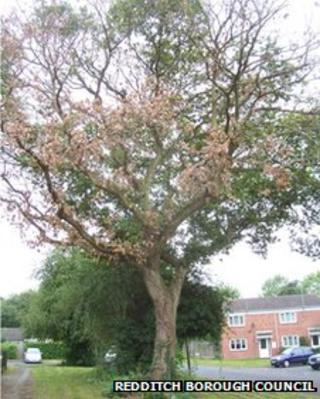 Oak tree in Redditch that has been deliberately killed