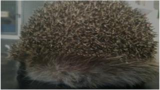 Inflated hedgehog