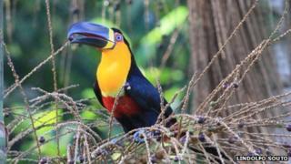 Channel billed toucan