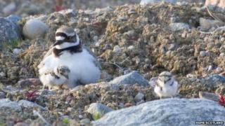 Little ringed plover chicks