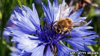 Bee on a cornflower