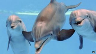 Bottlenose dolphins