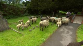 Sheep in the graveyard