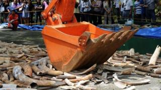 People watch as a backhoe crushes elephant tusks at a ceremony at the wildlife bureau compound in Manila on June 21, 2013.