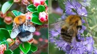 Tree bumblebee and Common carder bumblebee