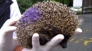 Hedgehog microchipped and painted ahead of release by GSPCA