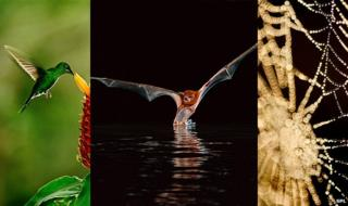 Hummingbird, bat, spider web (c) Science Photo Library