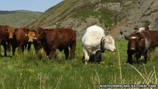 Cows with GPS units round their necks