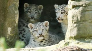 The snow leopard cubs venturing out for the first time at Marwell Zoo