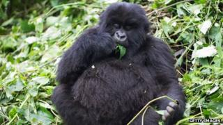 A mountain gorilla in Virunga National Park in the Democratic Republic of Congo