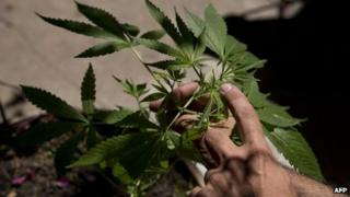 A man shows a cannabis sativa plant in Montevideo on 7 December, 2012.