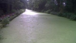 Duckweed covering the canal at West Byfleet