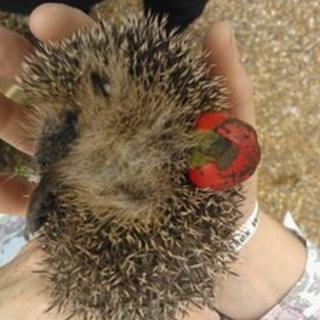 Hedgehog stuck in Christmas bauble