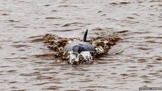 Dolphin on Dee (Pic: @RussellMBaker)