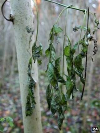 Wilting leaves of Common Ash Tree showing the symptoms of Chalara Fraxinea Dieback