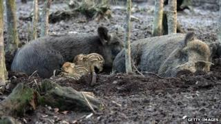 Wild boar adults and babies