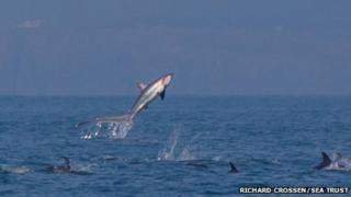 Thresher shark leaping from the sea