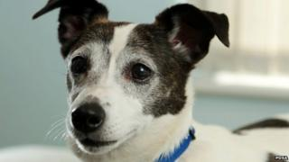 Close up of Star the dog, a Jack Russell terrier