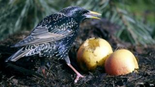 Starling feeding on apples